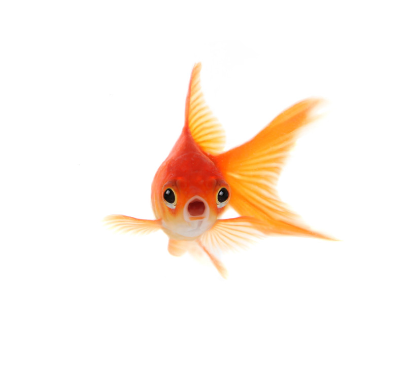A Good Goldfish Is A Dead Goldfish