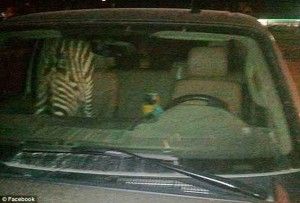 Cruising with your zebra and macaw... it's all fun and games until you need one to step up and be your designated driver.  Photo via Facebook