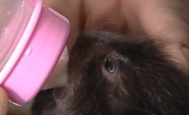 Man nurses baby porcupine to health after performing emergency c-section on its mom. Screen shot via WMTW.