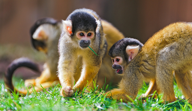 Monkey and kids are a lot alike: They both like to fling poop.